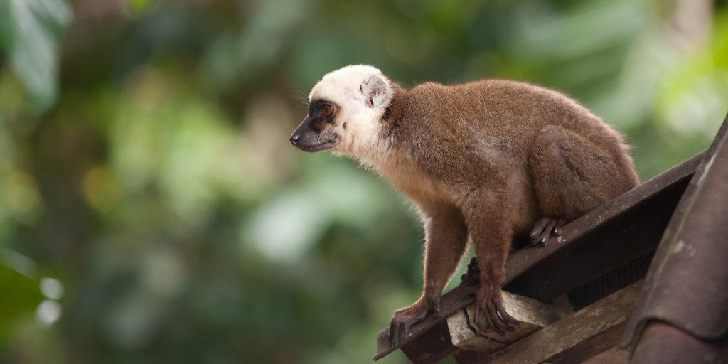 Brown Lemur at Nosy Mangabe